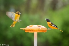 2019-Orchard-Oriole-3