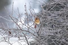 Female-Cardinal-1