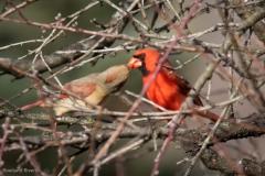Spring-Cardinals-1
