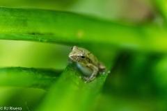 Treefrog-2